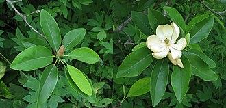 Magnolia virginiana - Image: Sweetbay Magnolia Magnolia virginiana Comparison 4400px