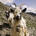 Swiss goats with bells close-up.jpg