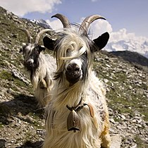 Swiss goats with bells close-up.jpg