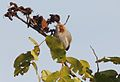 Sylvietta ruficapilla subsp ruficapilla, Menongue, Birding Weto, b.jpg