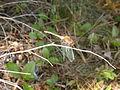 Sympetrum vicinum (5037648020).jpg