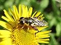 Syritta pipiens (Syrphidae sp.), Arnhem, the Netherlands.jpg