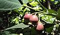 Syzygium Munronii 22.JPG