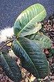 Syzygium mundagam 23.JPG