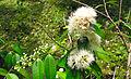 Syzygium zeylanicum Flower.jpg