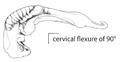T1. Cervical flexure 90° (T01a).png