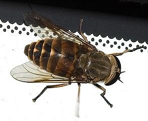 Pferdebremse (Tabanus sudeticus)