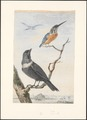 Tadorna cornuta - 1743 - Print - Iconographia Zoologica - Special Collections University of Amsterdam - UBA01 IZAA100122.tif