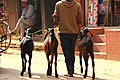 Taking the goats for a walk in Bhaktapur, Nepal (23326508809).jpg