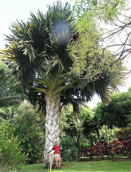 File:Talipot, Corypha umbraculifera, palmier géant.JPG