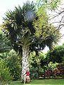 Talipot, Corypha umbraculifera, palmier géant.JPG