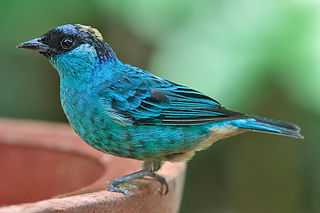 Golden-naped tanager species of bird
