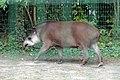 Tapir terrestre (Zoo Amiens).JPG