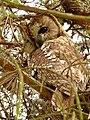 Tawny Owl (6886735046).jpg