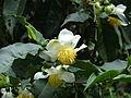 Tea flower11.JPG