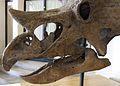 Teeth-triceratops-horridus-2.jpg