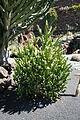 Teguise Guatiza - Jardin - Euphorbia mayuranathanii 01 ies.jpg