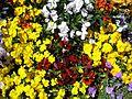 Teignmouth Blooms Again - 6 - Flickr - Sir Hectimere.jpg