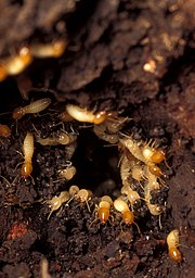 To demonstrate termite repair behaviour, a hole was bored into a termite nest. Over a dozen worker termites with pale heads are visible in this close-up photo, most facing the camera as they engage in repair activities from the inside of the hole. About a dozen soldier termites with orange heads are also visible, some facing outwards from the hole, others patrolling the surrounding area.
