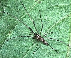 アシナガグモ 部屋にでかいクモがあらわれました おそらくアシナガグモ?