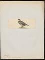 Tetrao franklinii - 1820-1863 - Print - Iconographia Zoologica - Special Collections University of Amsterdam - UBA01 IZ17100357.tif