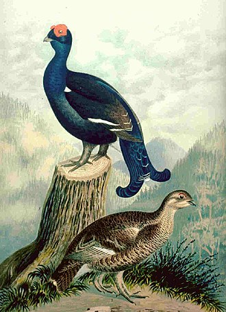 High Fens - An illustration of the black grouse (Tetrao tetrix), male and female from an early 20th-century natural history