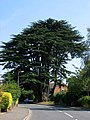 The Aperfield Cedar - geograph.org.uk - 224134.jpg