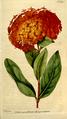 The Botanical Magazine, Plate 169 (Volume 5, 1792).png