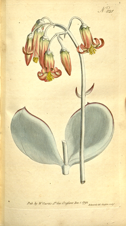 The Botanical Magazine, Plate 321 (Volume 9, 1795).png