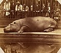 The Hippopotamus at the Regents Park Zoo, ca. 1855.jpg