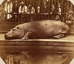 Juan, Count of Montizón - The Hippopotamus at the Regent's Park Zoo, ca. 1855. Photo by Juan, Count of Montizón.