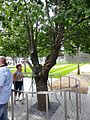The Survivor Tree of the World Trade Center.jpg