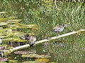 The baby moorhens are growing-up - geograph.org.uk - 934731.jpg