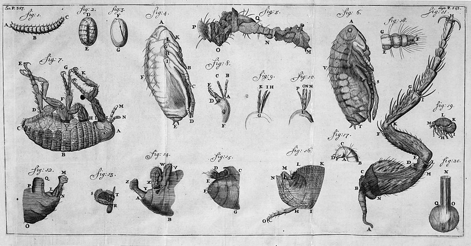 The development of the flea from egg to adult Wellcome M0016633