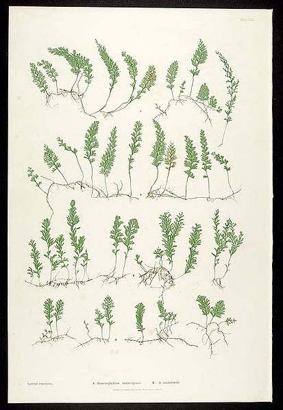 File:The ferns of Great Britain and Ireland (Plate XLIX) BHL302025.jpg