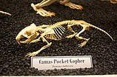 Skeleton model of the camas pocket gopher in a museum display case