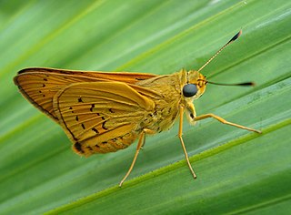<i>Thoressa decorata</i> species of insect