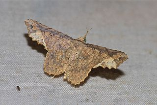 <i>Throana</i> Genus of moths