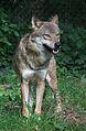 Tiergarten Worms 2011 Eurasischer Wolf.JPG