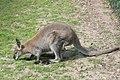 Tierpark-pyrmont-bennettkanguru.jpg