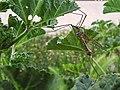Tipula - Tipulidae (14087906203).jpg
