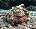 Toxopneustes pileolus à la Réunion.jpg