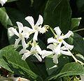 Trachelospermum jasminoides1215878198.jpg