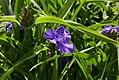 Tradescantia virginiana 'Zwanenburg Blue'-IMG 0488.jpg