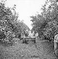 Transport van sinaasappelen per ezelwagen op een citrusplantage bij Pardes, Bestanddeelnr 255-1230.jpg
