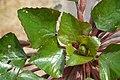 Trapa japonica rosette in Yokotake, Kanzaki.jpg