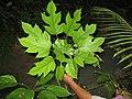 Trevesia palmata, Feuilles, Laos.jpg