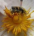Trichius gallicus - Flickr - gailhampshire (2).jpg