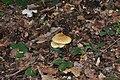 Tricholoma sulphureum qtl1.jpg