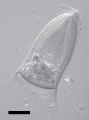 Trichonympha - Trichonympha campanula